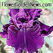 Iris 'Purple Serenade', Tall Bearded Iris 'Purple Serenade', Iris Germanica 'Purple Serenade', Mid Late Season Irissen, Purple Irises