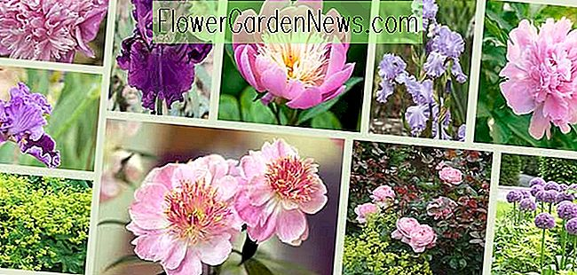 Border ideas, Perennial Planting, Perennial combination, Spring Borders, Summer Borders, Bearded Iris, Peony Mons Jules Eli, Peony Do Tell, Peony Bowl Of Beauty, Peonny Dinner Plate, Iris About Town, Iris Mary Frances, Rose Brother Cadfael