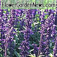 Salvia Farinacea Evolution Informationen, Evolution Mealycup Salbei Informationen, Mealy Becher Salbei Evolution Informationen, Salvia Farinacea Evolution, Salvia Evolution