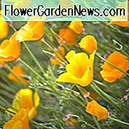 Eschscholzia Californica, Californië Poppy, Golden Poppy, California Sunlight, Gold Cup, Golden Cup, California Poppies, Yellow flowers