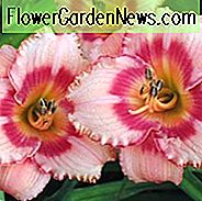 Hemerocallis 'Strawberry Candy', Taglilie 'Strawberry Candy', Taglilie 'Strawberry Candy', 'Erdbeer Candy Daylily, Reblooming Daylily, Taglilien, Daylily, Taglilien, rosa Blüten, rosa Taglilie, rosa Taglilie, Hemerocallidaceae, Staude, Pflanze