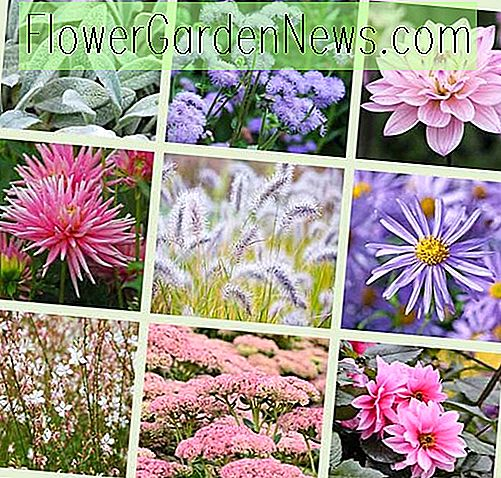 Dahlia's en Companion Plants - Pink & Blue Theme