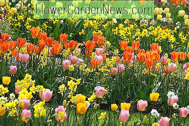 Una idea de Sunny Spring Border con Tulip 'Apricot Beauty' y Tulip 'Orange Emperor'