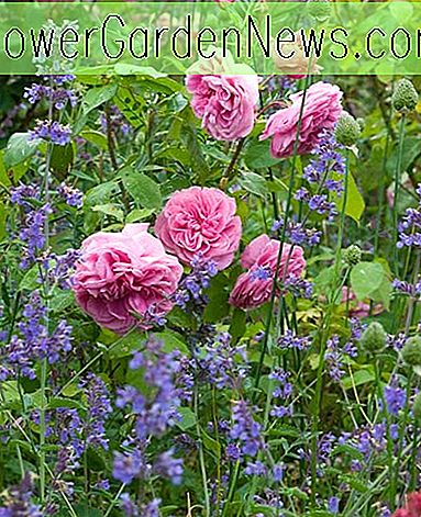 Ein fabelhaftes Duo: Rose 'Gertrude Jekyll' und Nepeta 'Six Hills Giant'
