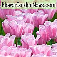 Tulip 'Mistress', Triumph Tulip 'Mistress', Triumph Tulips, Spring Bulbs, Spring Flowers, Tulipa 'Mistress', Pink Tulips, Tulipes Triomphe, Mid spring tulpen