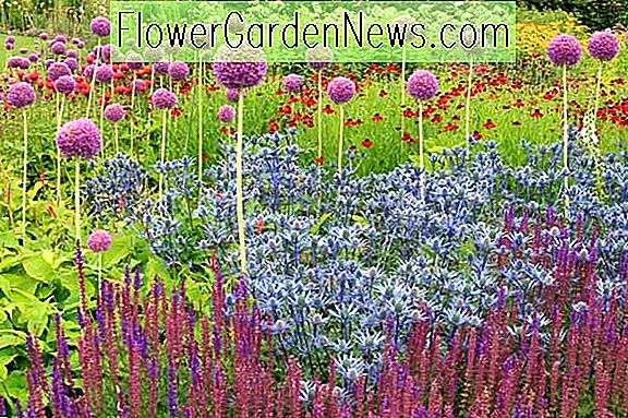 En Eye-Catching Summer Border med Alliums, Eryngium, Salvia och Helenium