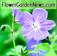 Geranium Johnson's Blue, Geranium Ibericum 'Johnson's Blue', 'Johnsons Blue' Geranium, Johnson Blue, Blue Geranium, Beste Geranien, beste Bodendecker