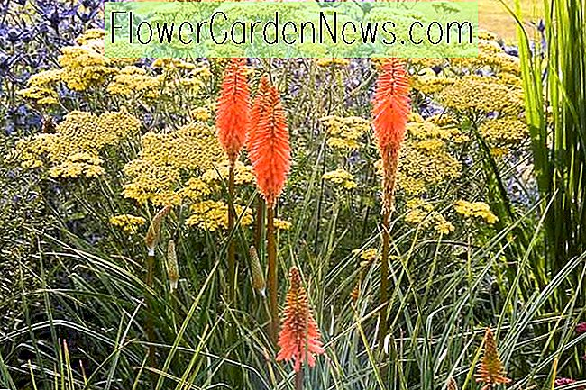 Easy-Care Border Idea กับ Kniphofia, Achillea และ Eryngium
