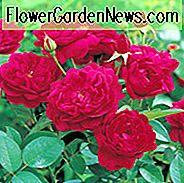 Rose 'Darcey Bussel', Rosa 'Darcey Bussel', Englische Rose 'Darcey Bussel', David Austin Rosen, Englische Rosen, Strauchrosen, Rote Rosen, Rosensträucher, Gartenrosen