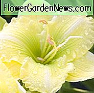 Irish Envy von Hemerocallis, Irish Envy von Daylily, Irish Envy von Taglilie, Irish Envy Daylily, Reblooming Daylily, Taglilien, Daylily, Taglilien, gelbe Blüten, gelbe Taglilie, gelbe Taglilie, gelber Hemerocallis