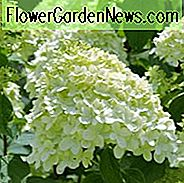 Hydrangea Arborescens Incrediball, Smooth Hydrangea Incrediball, Hydrangea Incrediball, White hydrangea, Best hydrangeas