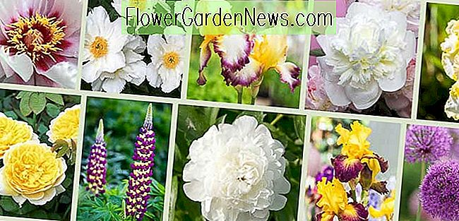 Peonies and Companion Plants - Gold & White Theme