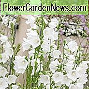 Campanula Persicifolia 'Alba', Fairy Bellflower 'Alba', Fairy Bells 'Alba', Peach Bells 'Alba', Petticoat Bellflower 'Alba', Willow Bell 'Alba', Peachleaf Bellflower 'Alba', witte bloemen, witte bellflower, witte campanula