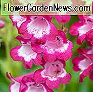 Penstemon 'George Home', Beardtongue 'จอร์จโฮม', Penstemon สีแดง Penstemon เอเวอร์กรีน, Beard Tongue 'George Home'
