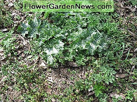 Baby poison hemlock plants with fern-like leaves surround the young milk thistle plants.