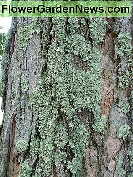Lichens on a Maple Tree