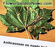 Maple Leaf Anthracnose