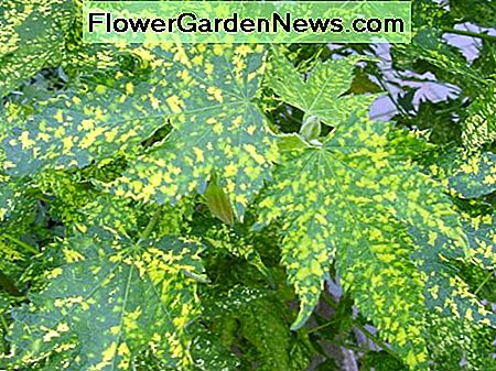 Maple Mosaic Virus on a Flowering Maple