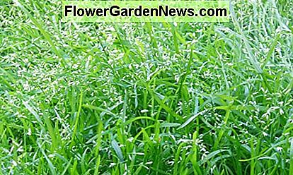This lawn has been left to seed, which is a natural form of overseeding. Not only does this save expenses, but it also provides new growth that matches the old growth.