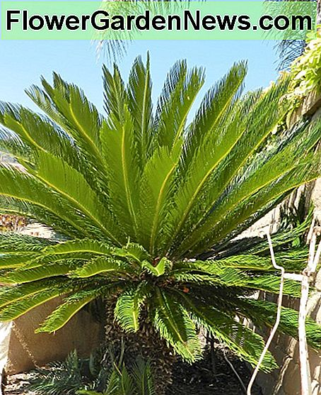 Eleven-year-old sago palm.