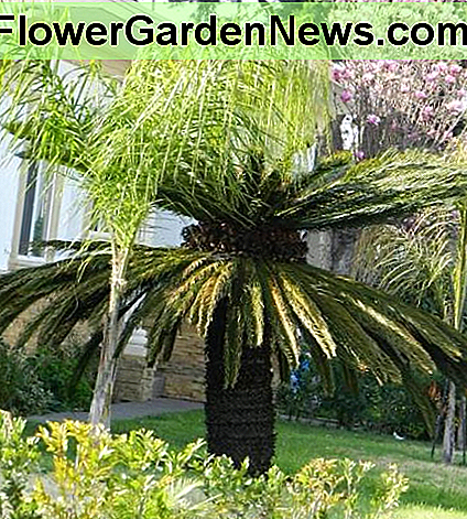Huge female sago palm.