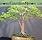 Amur Maple 10 Samen - Acer ginnala - Bonsai / Outdoors
