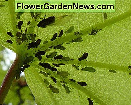 Aphids on maple leaf