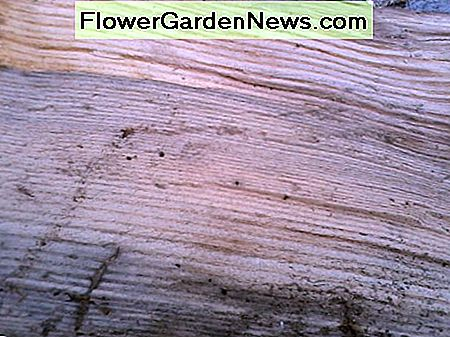 Exposed grain of White Ash