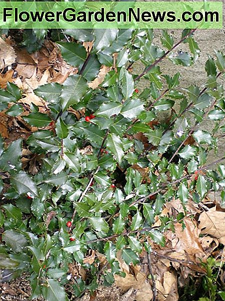 Holly shrubs are good for planting near bird feeders.