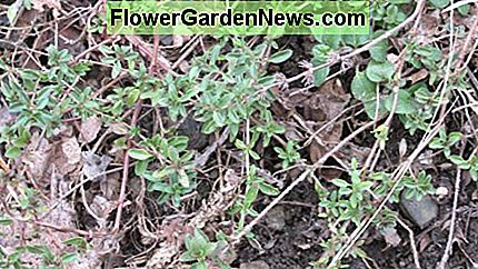 Mother-of-Thyme is a tough herbal ground cover.