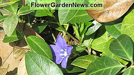 Vinca, also known as periwinkle and creeping myrtle, is a ground cover that works well in difficult places like under bird feeders.