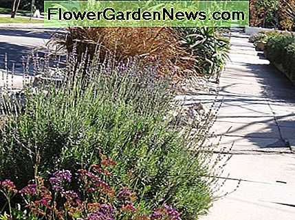This drought tolerant parkway looks attractive and easily thrives, in the hot sun of Southern California, with little or no care.