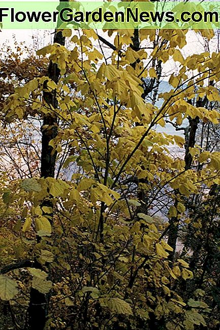 Striped Maple Tree Fakta, bruk og planting tips