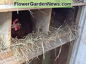 Hens in the Nestboxes
