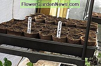 Heirloom Tomato & Pepper Seeds Started in Trays.