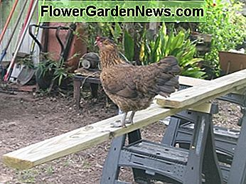 Hen Penny supervises the work.