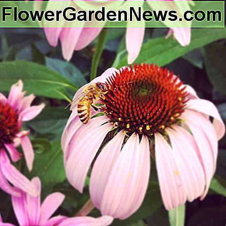 Bee on coneflowers in my front yard garden this summer.