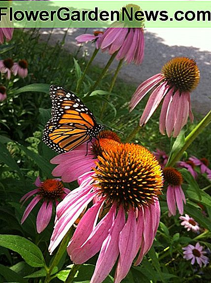 Monarch butterflies love the coneflowers in my front yard garden!