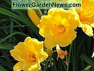 daylillies offer vibrant color and very low maintenance