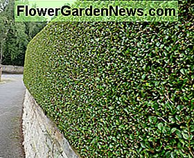Privet as a barrier and windbreak