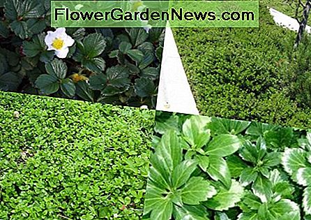 clockwise:Fragaria chiloensis, Arctostaphylos :Emerald Carpet