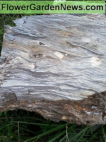 A chunk of sycamore - it can be split! Notice how wavy and curly the grain is. Difficult stuff.