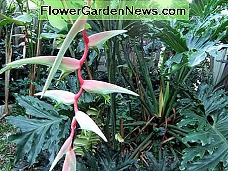 My Heliconia and Fern tree that received used tea leaves and/or tea brew treatment.