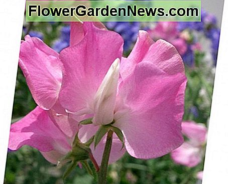 Sweet pea Heirloom Old Spice (Lathyrus Odoratus) produces colorful scented flowers. This variety is perfect for cut flowers.