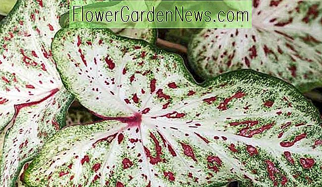 Caladium 'Gingerland' (Angel Wings)