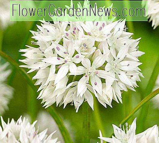 Allium amorphen 'Graceful Beauty' (Zierzwiebel)