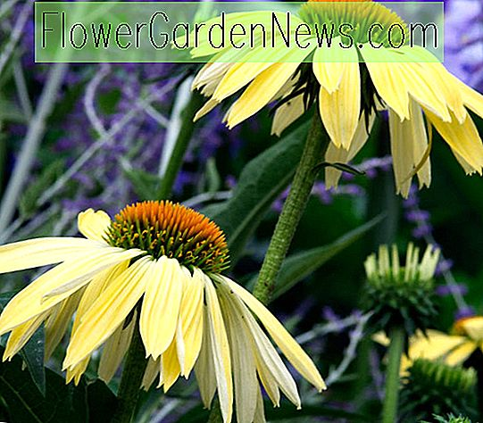 Echinacea 'Sunrise' (Coneflower)