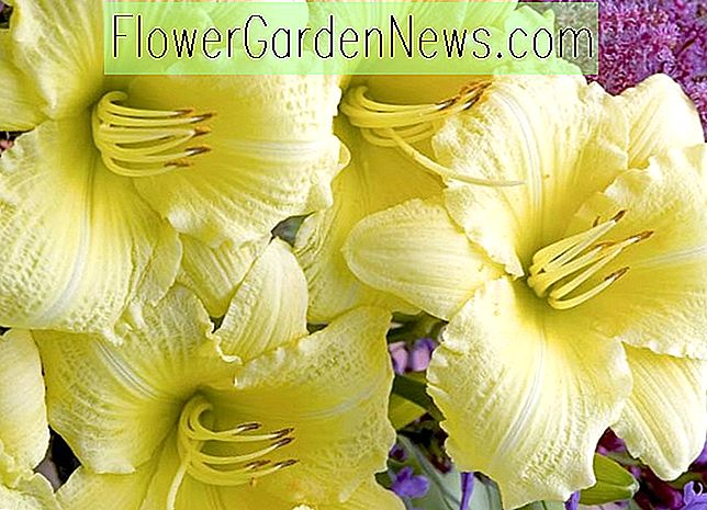 Hemerocallis 'Going Bananas' (Reblooming Daylily)