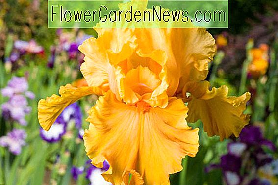 Iris 'Acapulco Gold' (Bearded Iris)