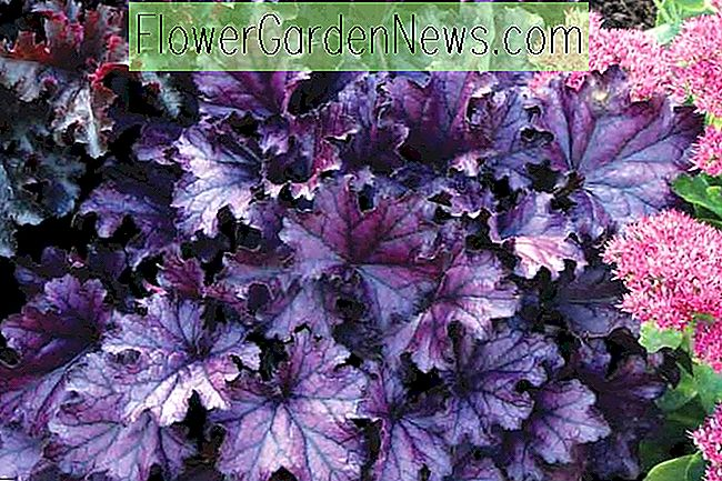 Heuchera 'Forever Purple' (Korallenglocken)